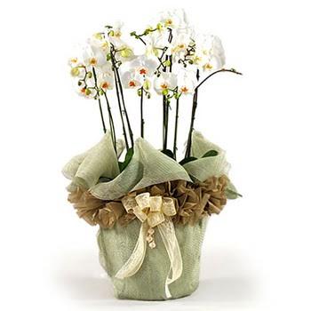 Ankara Anadolu çiçek siparişi sitesi  3 dal orkide , saksi çiçegi , 3 kök orkide