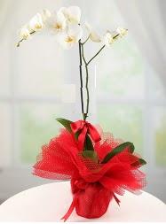 1 dal beyaz orkide saksı çiçeği  Ankara Anadolu yurtiçi ve yurtdışı çiçek siparişi