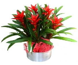 5 adet guzmanya saksı çiçeği  Ankara Anadolu çiçek gönderme sitemiz güvenlidir