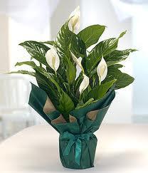 Spatifilyum Barış çiçeği Büyük boy  Ankara Anadolu çiçek servisi , çiçekçi adresleri