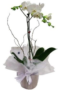 Tek dallı beyaz orkide  Ankara Anadolu cicek , cicekci