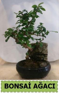 Bonsai ağacı japon ağacı satışı  Ankara Anadolu hediye çiçek yolla