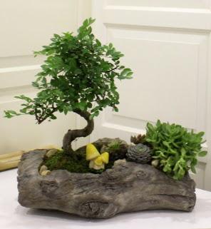 Ağaç kütük içerisinde bonsai ve sukulent  Ankara Anadolu çiçek gönderme sitemiz güvenlidir