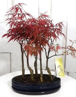 5 adet japon akçaağaç bonsai çiçeği  Ankara Anadolu çiçek satışı