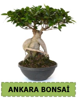 Bonsai satışı  Ankara Anadolu çiçek satışı