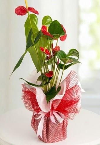 Anthurium Saksı Çiçeği  Ankara Anadolu hediye çiçek yolla