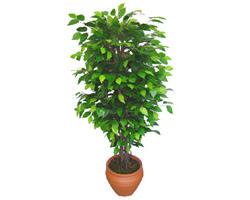 Ficus Benjamin 1,50 cm   Ankara Anadolu anneler günü çiçek yolla