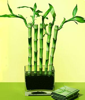 Ankara Anadolu anneler günü çiçek yolla  Good Harmony Lucky Bamboo camda