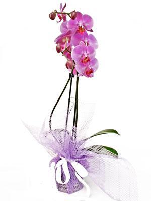 Ankara Anadolu anneler günü çiçek yolla  Kaliteli ithal saksida orkide