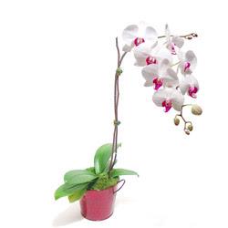Ankara Anadolu çiçek gönderme  Saksida orkide