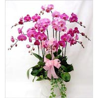 Ankara Anadolu cicekciler , cicek siparisi  3 adet saksi orkide  - ithal cins -