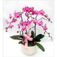Ankara Anadolu çiçek mağazası , çiçekçi adresleri  3 adet saksi da orkide - yerli ege cins -