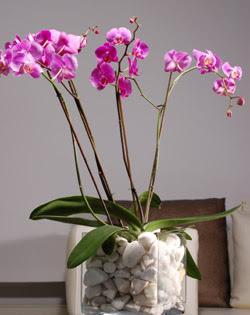 Ankara Anadolu çiçek siparişi sitesi  2 dal orkide cam yada mika vazo içerisinde