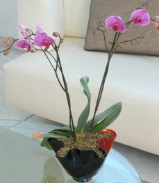 Ankara Anadolu çiçekçi mağazası  tek dal ikili orkide saksi çiçegi