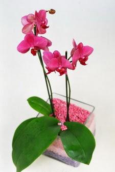 Ankara Anadolu çiçekçi mağazası  tek dal cam yada mika vazo içerisinde orkide