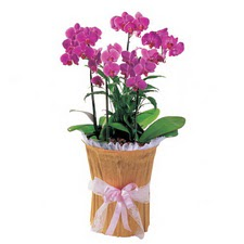 Ankara Anadolu çiçek siparişi vermek  saksi iiçerisinde 3 dal orkide
