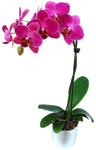 Ankara Anadolu çiçekçi mağazası  saksi orkide çiçegi