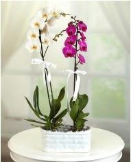 1 dal beyaz 1 dal mor yerli orkide saksıda  Ankara Anadolu çiçek servisi , çiçekçi adresleri