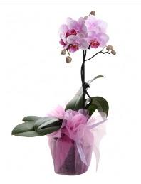 1 dal pembe orkide saksı çiçeği  Ankara Anadolu kaliteli taze ve ucuz çiçekler