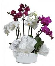 4 dal mor orkide 2 dal beyaz orkide  Ankara Anadolu anneler günü çiçek yolla
