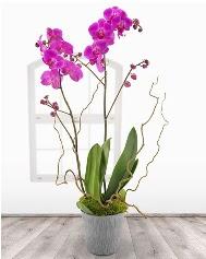 2 dallı mor orkide saksı çiçeği  Ankara Anadolu ucuz çiçek gönder