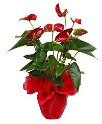 Görsel antoryum saksı çiçeği  Ankara Anadolu online çiçek gönderme sipariş