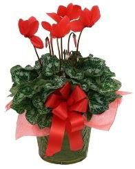 Sılkamen saksı çiçeği  Ankara Anadolu yurtiçi ve yurtdışı çiçek siparişi