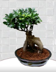 saksı çiçeği japon ağacı bonsai  Ankara Anadolu kaliteli taze ve ucuz çiçekler