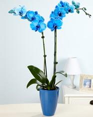 Eşsiz bir hediye 2 dallı mavi orkide  Ankara Anadolu cicekciler , cicek siparisi