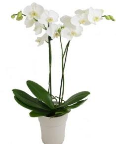 2 dallı beyaz orkide  Ankara Anadolu uluslararası çiçek gönderme