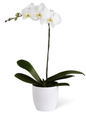 1 dallı beyaz orkide  Ankara Anadolu 14 şubat sevgililer günü çiçek