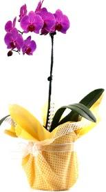 Ankara Anadolu çiçek siparişi sitesi  Tek dal mor orkide saksı çiçeği