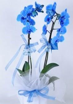 2 dallı mavi orkide  Ankara Anadolu internetten çiçek satışı