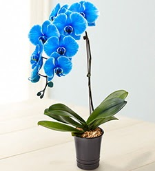1 dallı süper eşsiz mavi orkide  Ankara Anadolu çiçek mağazası , çiçekçi adresleri