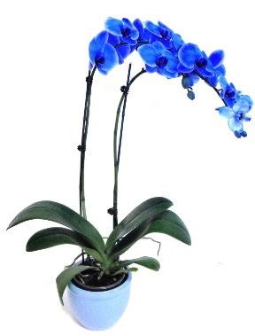 Seramikli 2 dallı süper eşsiz mavi orkide  Ankara Anadolu çiçek servisi , çiçekçi adresleri