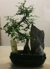 Bonsai Bitkisi  İthal stoklar ile sınırlı son ürünler