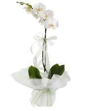 1 dal beyaz orkide çiçeği  Ankara Anadolu çiçek siparişi vermek