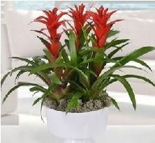 3 lü Guzmanya saksı çiçek bitkisi  Ankara Anadolu 14 şubat sevgililer günü çiçek