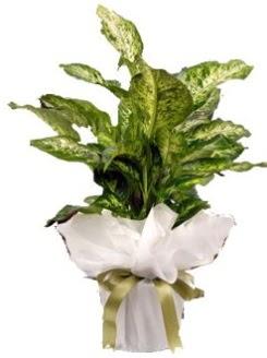 Difenbahya Mars Küçük boy  Ankara Anadolu çiçek servisi , çiçekçi adresleri