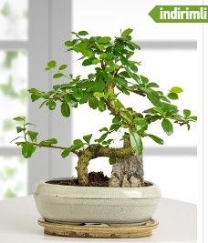 S şeklinde ithal gerçek bonsai japon ağacı  Ankara Anadolu internetten çiçek satışı