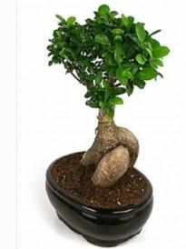 Bonsai saksı bitkisi japon ağacı  Ankara Anadolu çiçek siparişi sitesi