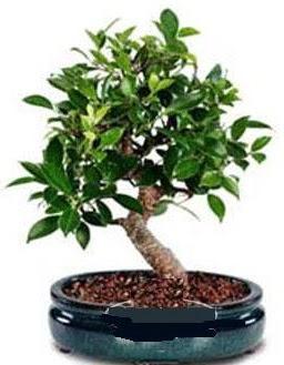 5 yaşında japon ağacı bonsai bitkisi  Ankara Anadolu anneler günü çiçek yolla