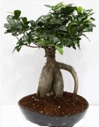 5 yaşında japon ağacı bonsai bitkisi  Ankara Anadolu internetten çiçek satışı