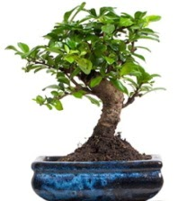 5 yaşında japon ağacı bonsai bitkisi  Ankara Anadolu çiçek satışı