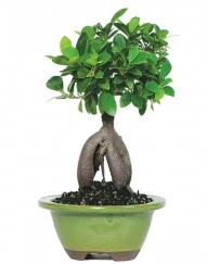 5 yaşında japon ağacı bonsai bitkisi  Ankara Anadolu cicek , cicekci
