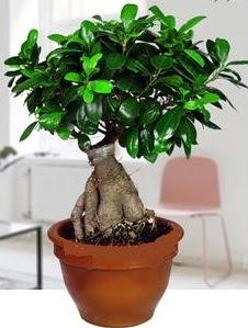 5 yaşında japon ağacı bonsai bitkisi  Ankara Anadolu online çiçek gönderme sipariş