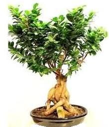 Bonsai Japon ağacı saksı bitkisi  Ankara Anadolu çiçek siparişi sitesi