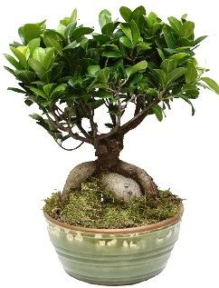 Japon ağacı bonsai saksı bitkisi  Ankara Anadolu Anadolu İnternetten çiçek siparişi