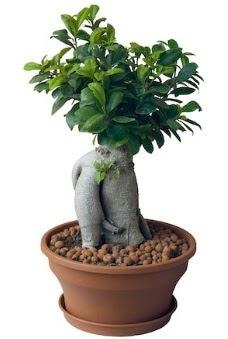 Japon ağacı bonsai saksı bitkisi  Ankara Anadolu çiçek gönderme