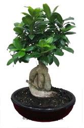 Japon ağacı bonsai saksı bitkisi  Ankara Anadolu ucuz çiçek gönder
